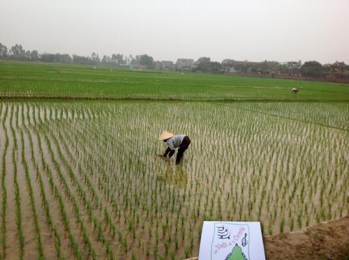Les Voix voyagent dans les rizières à Hanoï